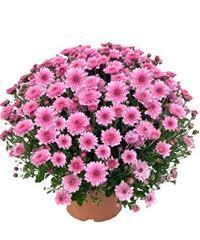 Chrysanthème pomponette