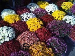 Chrysanthèmes de couleurs variées