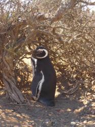 Senor Pinguino en Punta Tombo