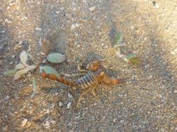 Scorpionito peligroso! - Comodoro