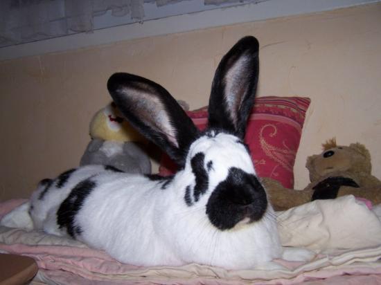 le monde du lapin geant. Black Bedroom Furniture Sets. Home Design Ideas