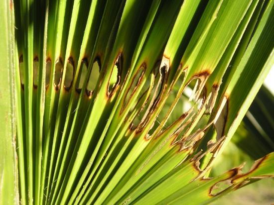 Associations fous de palmiers photos du paysandisia archon for Maladie palmier interieur
