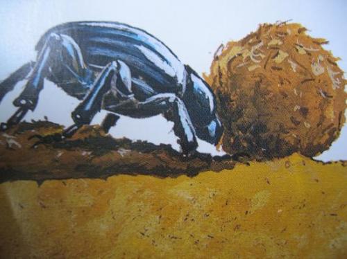 Le bousier dans tous ses états: il faut pousser la boule jusqu'au nid Photo A.M.B 2010