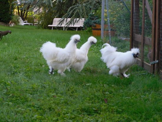 Poule soie blanche gr nb for Poule soie blanche prix