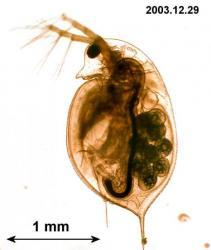 Daphnia longispina