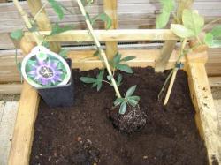 planter une passiflore