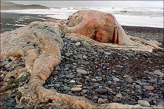 Cryptozoologie cryptozoology Saint augustine florida floride USA Blob chili 2003 Dewitt Webb octopus giganteus poulpe colossal cachalot erreur d'analyse 1896