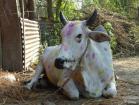 Vache décorée pour le festival Tihar