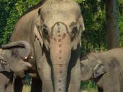 Famille de pachydermes au Chitwan