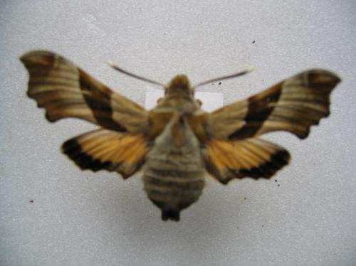 Proserpinus proserpina Legit Jacob H.C.Lev.1961.Coll.A.M.B. 1971