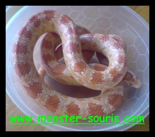 elaphe guttata albinos