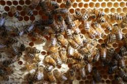 ouvrières sur un rayon de miel
