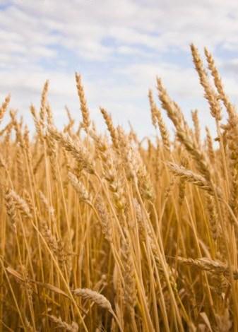 blé doré zoom