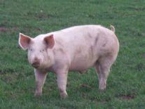 cochon herbe