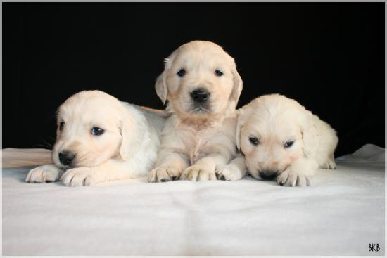 chiots golden retriever bretagne