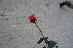une rose gelée