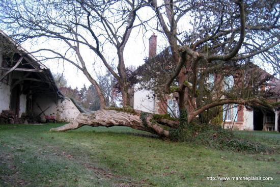 Un bel arbre à Lattainville