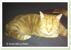 Astérix, chat roux à adopter paris
