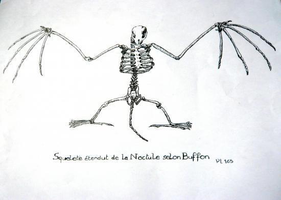 gravure Noctule