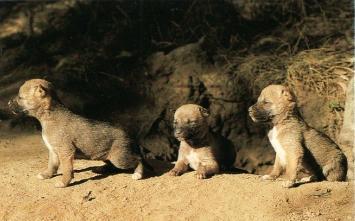 Portée de dingos