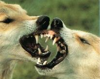 Dingos combat