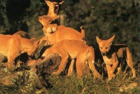Dingos en chasse