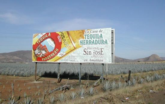 Culture Agave tequilana