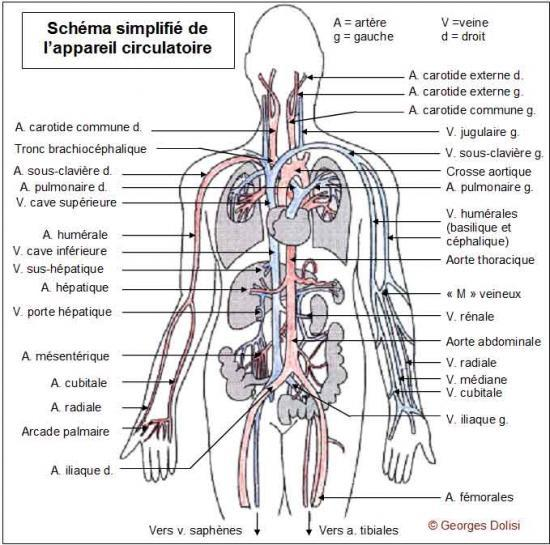 Schema des arteres et des