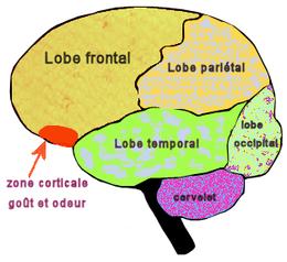 Les différentes zones du cerveaux=> la zone corticale.