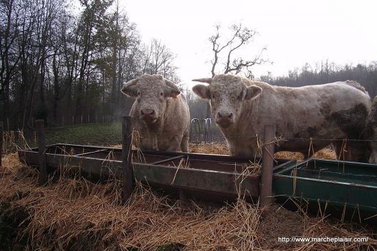 Portait de taureaux