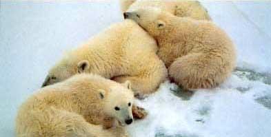 Oursons blanc couché