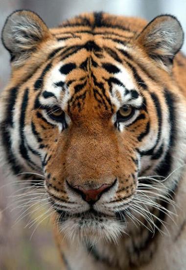 Tigre sibérie portrait