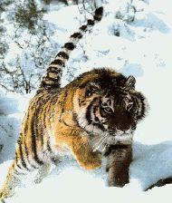 Tigre de Sibérie bondit