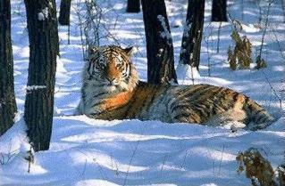 Tigre de Sibérie couché
