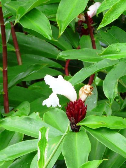 les fleurs du costa rica