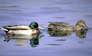 Canards colvert mâle et femelle