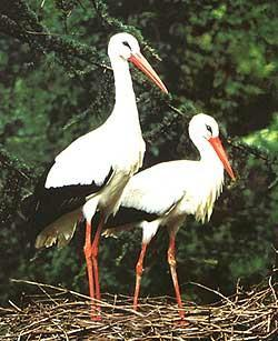 Deux cigognes blanches au nid