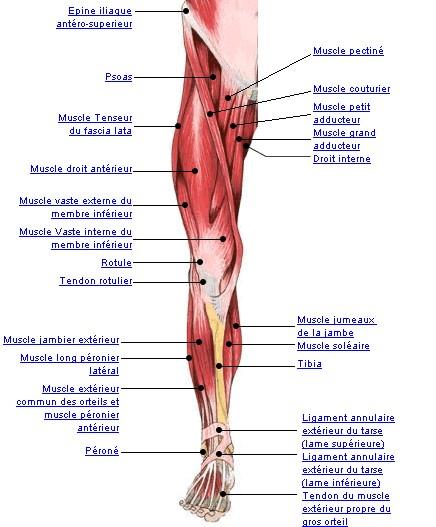 Anatomie for Douleur interieur du pied