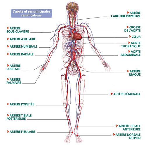 Exceptionnel Anatomie TV16