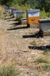 Rucher pendant la floraison des Scilles