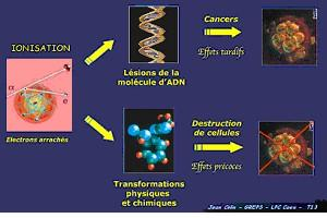 Effets des rayons ionisants sur l'ADN
