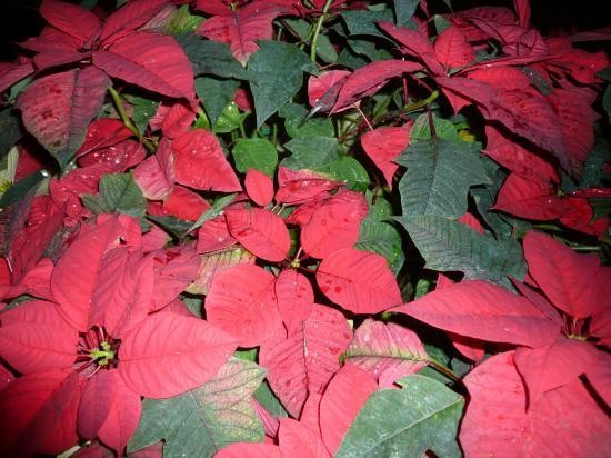 fleur rouge commencant par p