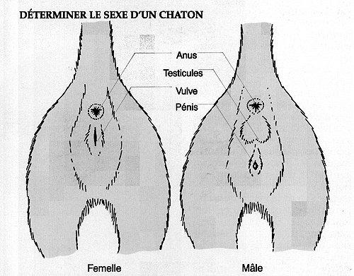 Sexe du chat : mâle ou femelle ?