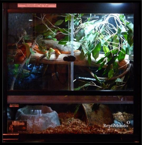 decor terrarium guttata