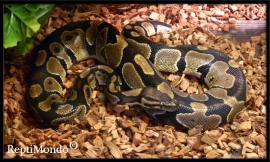fiche python regius