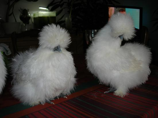Les poules soies for Poule soie blanche prix