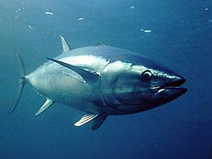 Les pr dateurs des m duses - Comment cuisiner le thon rouge ...