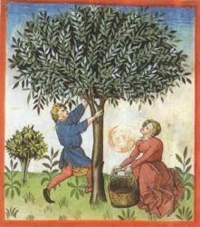 La cueillette des olives: Tacuinum sanitatis, Allemagne, XVe siècle