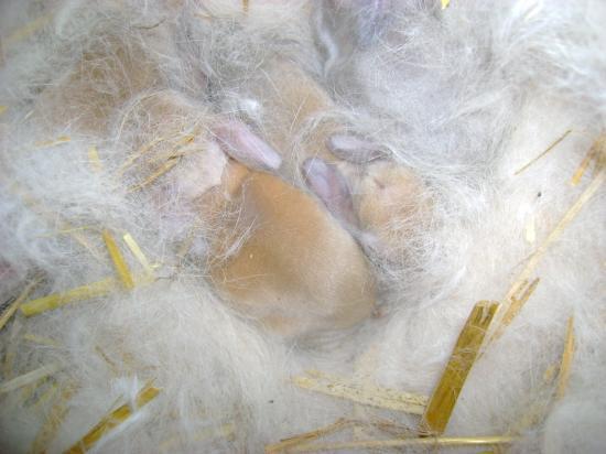 Bébés lapins Filou & Estrella à 5 jours