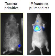 Détection par bioluminescence d'un ostéosarcome de souris induit à partir de cellules exprimant la luciférase.  Détection de la tumeur primitive en site osseux et des métastases en site pulmonaire.